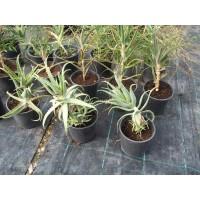 ALOE Arborescens en Maceta de 22 Centímetros