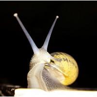 Caracol Reproductor Helix Aspersa Muller para Granjas