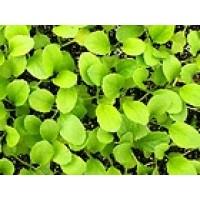 Mostaza Baby Leaf. 50 Gramos.