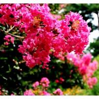 Planta de Lagestroemia Indica Red. en Cepelló