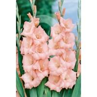 sobre 10 Bulbos Gladiolos Applause-Rosa
