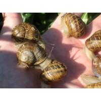 Caracoles Helix  Aspersa Bove