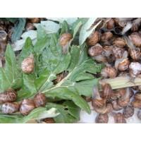 Caracoles Reproductores Helix   Aspersa Bove