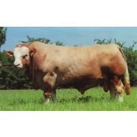 Ganado Razas, Holstein, Fleckvieh, Braunvieh, Gelbvieh (Beef Breeds);