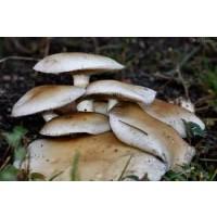Micelio en Grano de Agrocybe Aegerita, SETA de Chopo. 300 Gr. Semillas