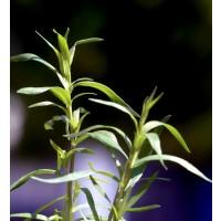 Planta de Estragon, Artemisia Dracunculus.