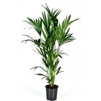 Planta Natural Palmera Howea Forsteriana.  15