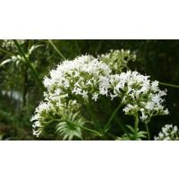 Semillas de Valeriana Officinalis. 2500 Semil