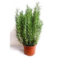 1 Planta de Rosmarinus Officinalis - Romero.