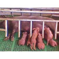 Cerdos Ibéricos Certificados. 50%duroc. Lotes Dede Lechones