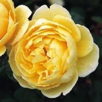 Rosa Charlotte Ct