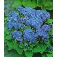 Semillas Agerato Tetra Blue Mink