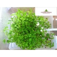 Plantones Stevia
