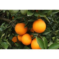 Naranja Ecologica (Prox. Recoleccion)