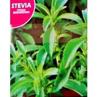 Stevia Rebaudiana. Envase Hermético de 0,02 Gr. 50 Semillas
