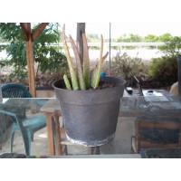 Aloe Vera en Maceta de 14 Centímetros