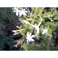 Jazmines  Grandiflora en Maceta de 20 Cm