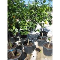 Limonero Verna en Maceta de 35 Cm Pie Arbustivo.pb