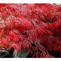 1 Planta Arce Japonés. ACER Dissectum Garne P