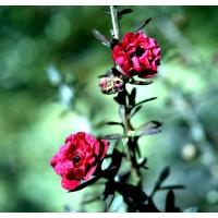 Planta de Leptospermun Scoparium Red. en Cepe