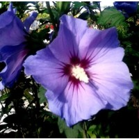 Planta de Rosa de Siria Azul Altea, Hibisco S