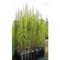 Plantas de Cipres y Thuya para Seto
