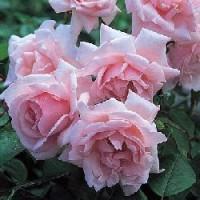 Rosa New Dawn Rd