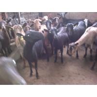 se Venden Cabras Lecheras (Almería)