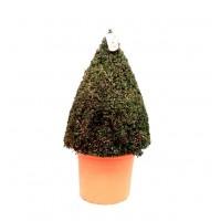 Planta Natural Buxus Piramide. en Maceta y de
