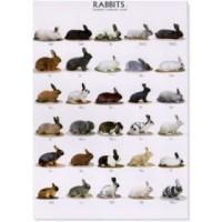Poster de Conejos II