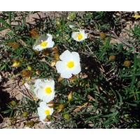 Semillas de Romero Macho. Citus Libanotis. 10