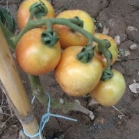 Semillas Tomate de Colgar Fulla de Patatera. 1000 Semillas