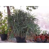 ALOE Arborescens en Maceta de 17 Centímetros