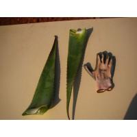 Hoja de Aloe Vera Barbadensis Miller