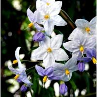 Planta de Solanum, en Cepellón de Semillero