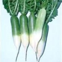 Rabano Verde. Radis Green. 1000 Semillas. Semilla Ecológica