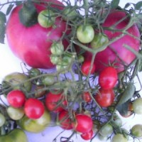 Semillas Tomate Cherry Grappe  500 Semillas