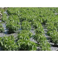 Stevia en Hoja Seca por Kg