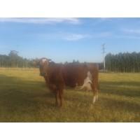 Vacas RAZA Rubia