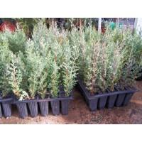 cipres semperviven en caja de plantas