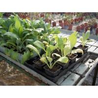 Plantas de Alcachofa en Bandeja de 54 Unidades
