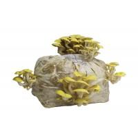 Saco Productor de Seta de Ostra Amarilla (Pleurotus Citrinopileatus)