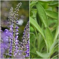 Semillas de Salvia Real. Salvia Officinalis.