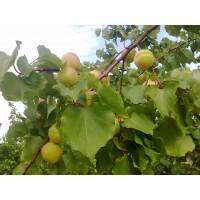 Venta de Fruta de Hueso al por Mayor