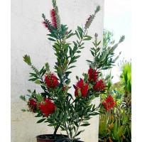 1 Planta de Callistemon Laevis. Altura: 35/50 Cms.