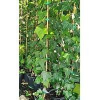 1 Planta de Hiedra - Hedera Helix.  Altura  1