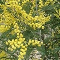 Acacia Longifolia en m.24 de Hoja Ancha