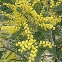 Acacia Mimosa Floribunda m.24