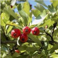 Acerolo Rojo en Maceta de 25 Cm