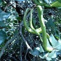 Algarrobo en Maceta de 25 Centímetros